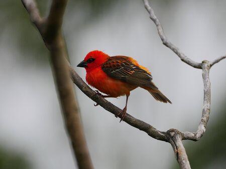 Red bird standing with dexterity