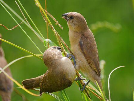 Cute tropical birds eating grass seeds