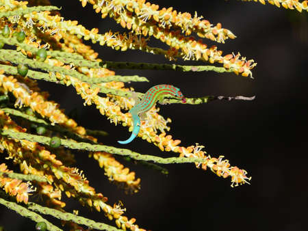 Gecko licking palm tree twig Banque d'images