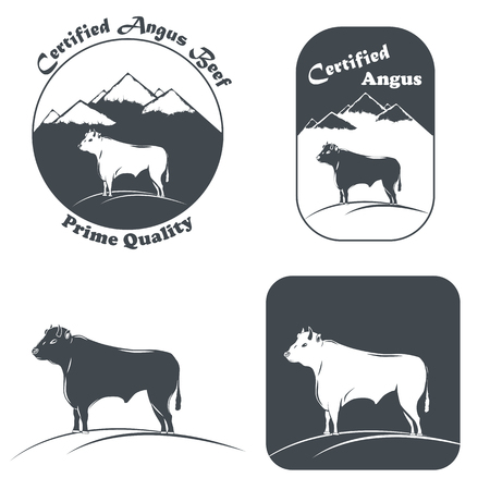 domestic cattle: Angus Bull In White And Black.