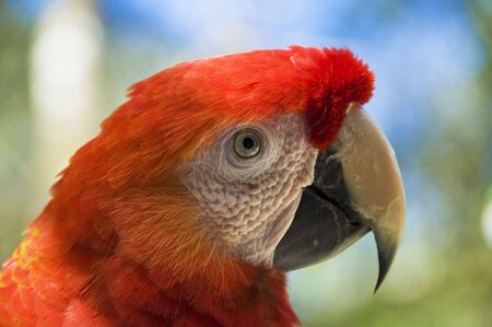 Close-up of a scarlet macaw photo
