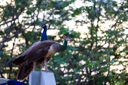 Indian Peacock and Peahen in the evening. Beautiful view around my house.