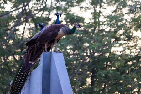 Two Peacocks and a Peahen on a wall. A beautiful view around my house in Jalandhar, Punjab.