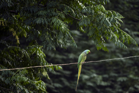A Parrot on a wire, at my home.