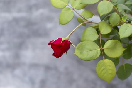 Red Rose at my home, in Jalandhar, Punjab. Stok Fotoğraf