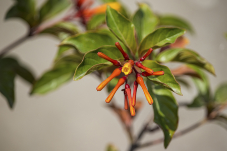 The Fire Bush plant at my home. Stock Photo - 101851493