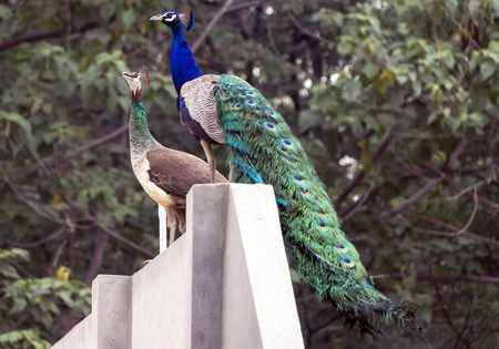 Peacock & Peahen together around my house. A beautiful view around my house in Jalandhar, Punjab. Stok Fotoğraf
