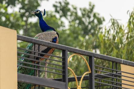 Indian Peacock Enjoying Weather in evening around my house. Stok Fotoğraf