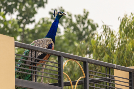 Indian Peacock roaming around oustide my house.