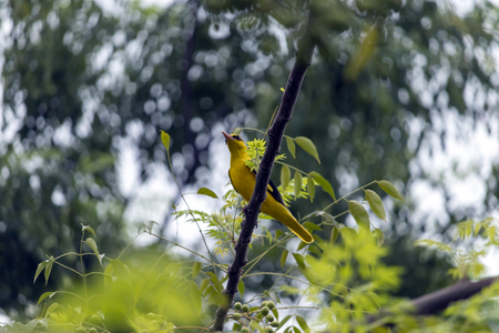 A beautiful golden yellow colored bird outside my home in Jalandhar, Punjab. Stok Fotoğraf