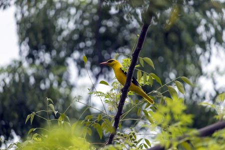 Beautiful yellow colored bird outside my home in Jalandhar, Punjab.