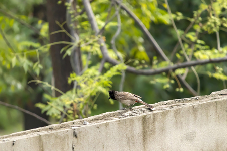 A Red-Vented Bulbul playing on my house rooftop. Stok Fotoğraf