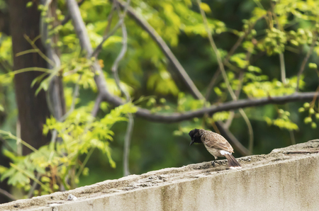 A Bulbul playing around on rooftop of my house. Stok Fotoğraf