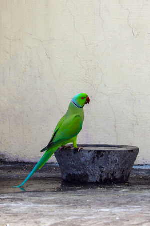 A Parrot came to Drink Water at my house roof top. Stok Fotoğraf