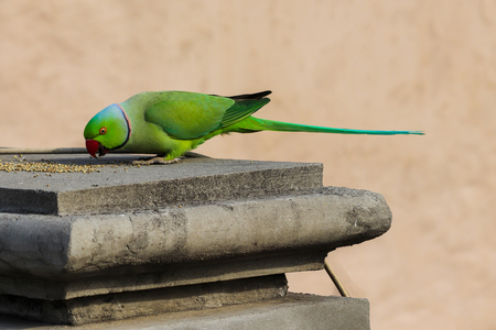 A Parrot eating Pearl Millet at my house rooftop