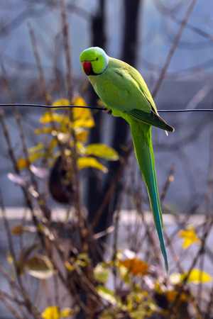 A Parrot on a wire looking at me at my house. Stok Fotoğraf