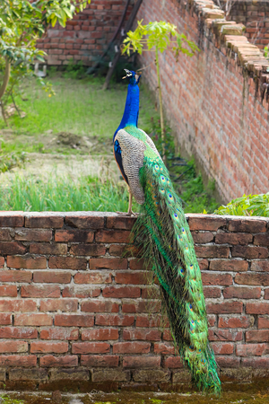 A Peacock Calling on a Wall outside my house.