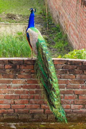 A Peacock on a Wall outside my house.
