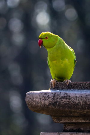Portrait shot of a Rose Ringed Parakeet at my house roof top.