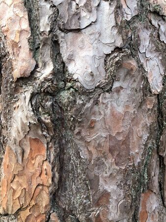 Old dry tree bark. Perfect background with a natural motif. Dry wrinkled multilayer wood surface. Natural pattern created by nature 免版税图像