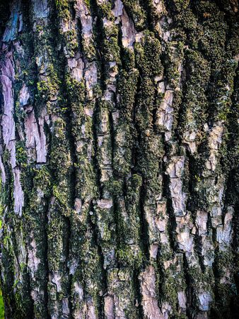 Old oak bark, cracked dry surface with wrinkle pattern. Moss and lichens on a tree trunk. Background with many small details. Close up, green brown and violet texture