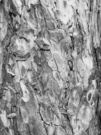 Old dry tree bark. Perfect background with a natural motif. Dry wrinkled multilayer wood surface. Natural pattern created by nature. Black and white