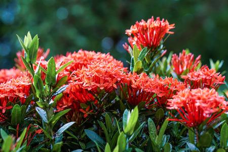 red pink orange ixora spike flower green leaf rain drop