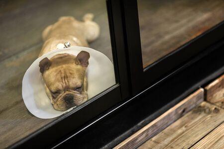 sad sleepy dog wear cone look out the window Banco de Imagens