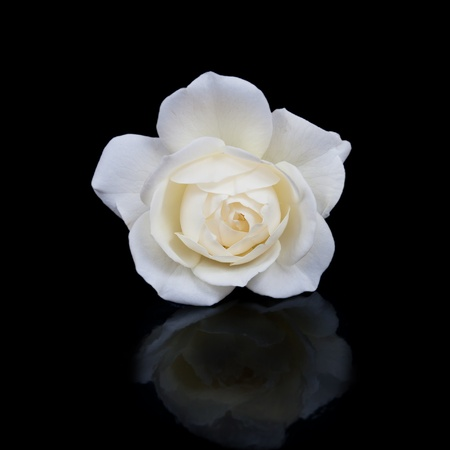 open white rose button with reflection isolated on black background photo