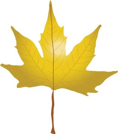プラタナス: 白い背景の上秋のプラタナスの葉 写真素材