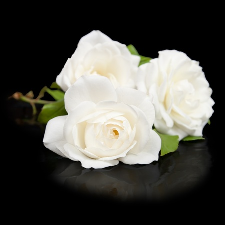 Three open white roses button with reflection isolated on black background Stock Photo