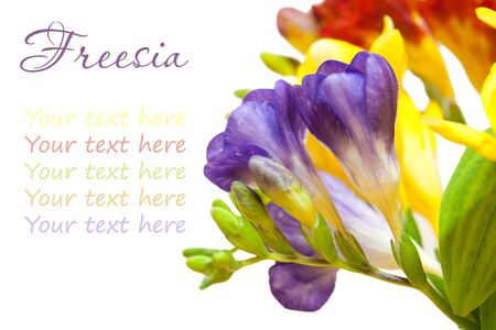 bunch of lovely freesia on white background with the place for your text  photo