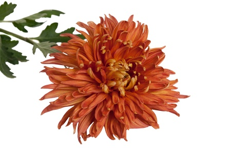 orange chrysanthemum isolated on a white background  photo