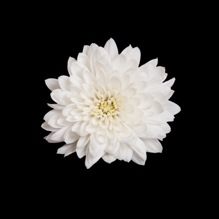 open white chrysanthemum button  isolated on black background photo