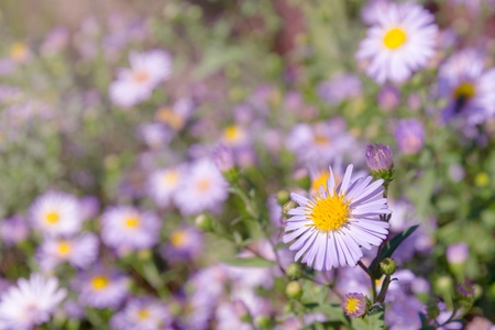 Lilac and white daisies on a background of green grass  Stock Photo