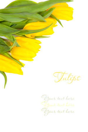 yellow tulips isolated on a white background (with sample text)  photo