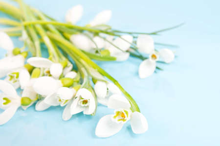 delicate snowdrops on a blue background photo