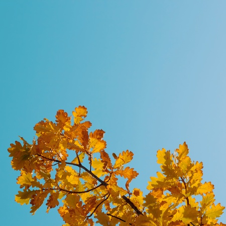 Autumn Oak Leaves on blue sky background with copy space photo
