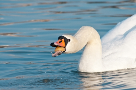 swallowing: White swan swallowing food on the water