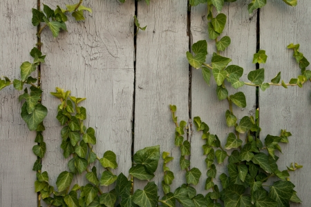 Close up wooden fence covered in ivy background photo