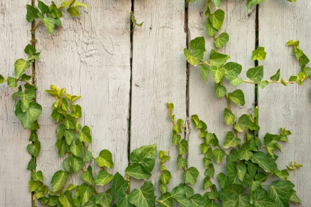 Close up wooden fence covered in ivy background