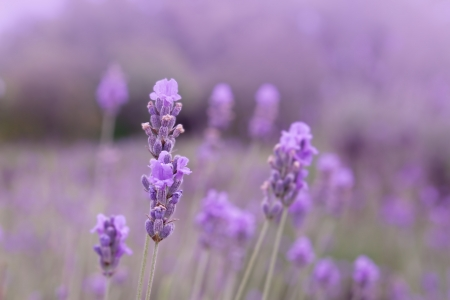Purple lavender flowers in the field background photo