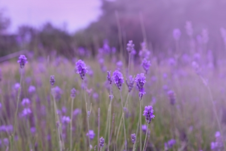 Purple lavender flowers in the field background Stock Photo
