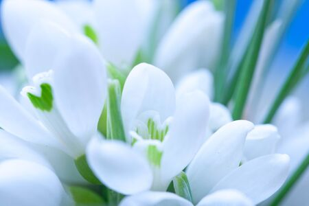Background of macro snowdrop flowers and green leaves photo
