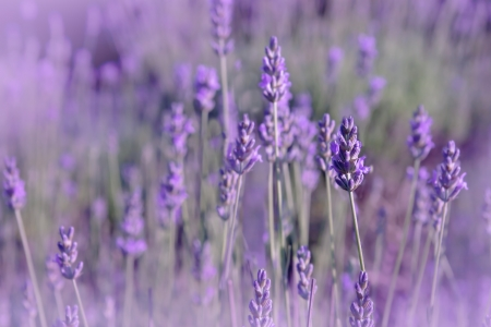 Purple lavender flowers in the field background Stock Photo - 17286153