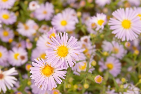Lilac daisies on a background of green grass close up Stock Photo