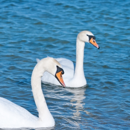 two white swans is floating on the water