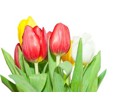 Fresh tulips isolated on a white background