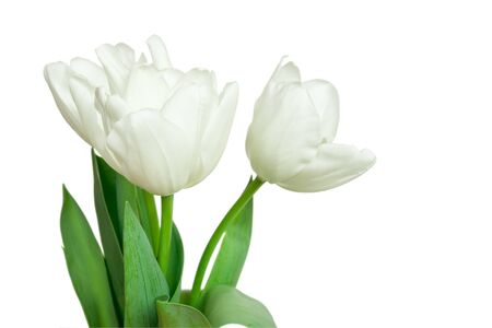 white tulips isolated on a white background photo