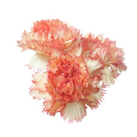 Red carnation flower heads  isolated on white background Stock Photo